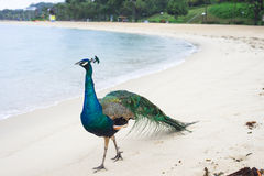 Peacock. Wild peacock walking along the sandy beach stock images