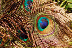 Peacock in the wind Royalty Free Stock Images