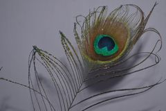peacock wings peacock feather morpankh royalty free stock photo