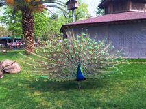 Peacock. Wings open Royalty Free Stock Photos