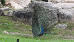 Peacock with wings spread. Peacock with wings wide open. Peacock with open wings. Beauty, multicolored. Beautiful Peacock wings.