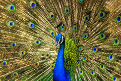 Peacock. Wings are suitable for dating Stock Photo