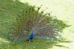 Peacock. Wit big feathers in the grass Stock Photo