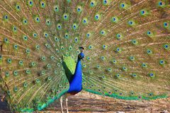 Free Peacock With Feathers Out Royalty Free Stock Photo - 99829325