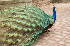 Peacock With Large Tail Stock Photography