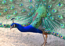 Free Peacock With Spreading Feathers Royalty Free Stock Images - 25799979