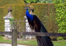 Peacock in the Woodford Valley. Near Salisbury Stock Photo