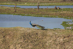 Peacock in Yala National Park Royalty Free Stock Images