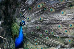 Peacock. At zoo Stock Image