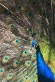 Peacock. At zoo Royalty Free Stock Photos