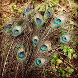 Peacockfeathers fotografía de archivo libre de regalías