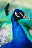 PeacockProfile Royaltyfri Bild