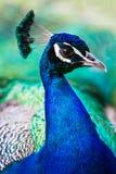 PeacockProfile Imagen de archivo libre de regalías