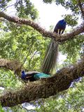 Peacocks σε ένα πάρκο πουλιών στο Fort Lauderdale Στοκ Εικόνες
