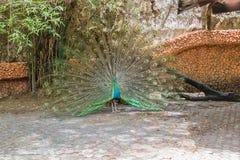 Peacocks φτερά Στοκ εικόνα με δικαίωμα ελεύθερης χρήσης