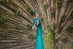 Peacocks φτερά Στοκ Φωτογραφίες