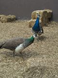 peacocks fotografia de stock royalty free