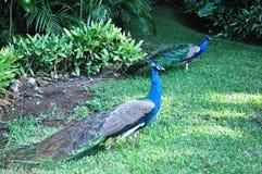 Peacocks. Stock Photos