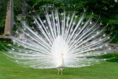 Peacocks stock image
