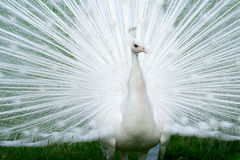 Peacocks royalty free stock image