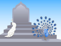 Peacocks Stock Photography