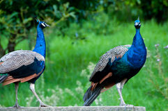 Peacocks Royalty Free Stock Photos