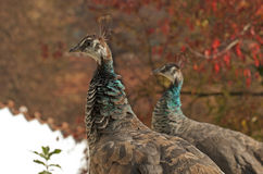 Peacocks Royalty Free Stock Images