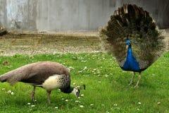 peacocks fotografia stock