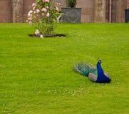peacocks Στοκ φωτογραφία με δικαίωμα ελεύθερης χρήσης