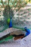peacocks Fotos de archivo libres de regalías