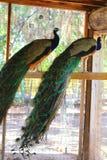 peacocks Royalty-vrije Stock Foto's