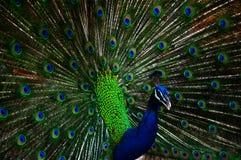 peacocks Imagen de archivo libre de regalías