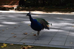 peacocks Fotografia Stock Libera da Diritti
