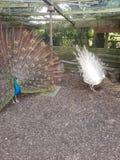peacocks Imagenes de archivo