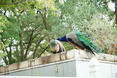 Free Peacocks Are Kissing Royalty Free Stock Photos - 101656698