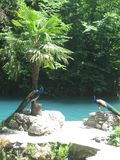 Peacocks on a background of blue lake, stones and palm trees royalty free stock photo