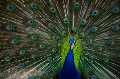 Peacocks Stock Photos