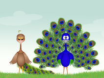 Peacocks couple. Cute illustration of Peacocks couple Stock Images