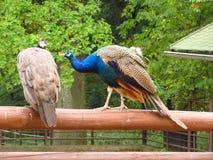 Peacocks Royalty Free Stock Photography