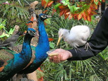 Peacocks, Egret and Black Bird Stock Images