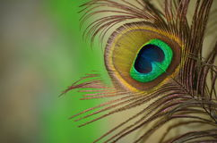 Peacocks feather. Detail of eye of peacocks feather with blurry background stock photo