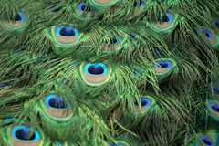 Peacocks feathers. Peacock has the most beautiful colours and deatils in it feathers royalty free stock images