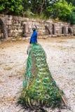 Peacocks in the garden at Mount Filerimos. Rhodes island, Greece Royalty Free Stock Photo