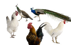 Peacocks, hens and rooster. In front of white background Stock Photography