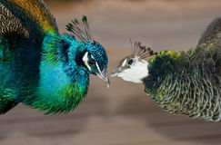 Peacocks in love Stock Images
