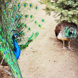 Peacocks Stock Images