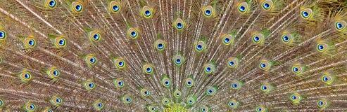 Peacocks tail Royalty Free Stock Photos