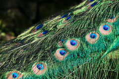 Peacocks tail Stock Photo