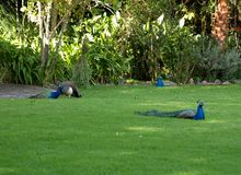 Peacocks. Three Peacocks lounging in a garden on grass with vegetation backdrop Stock Photos