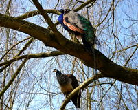 Peacocks on a tree Stock Photography